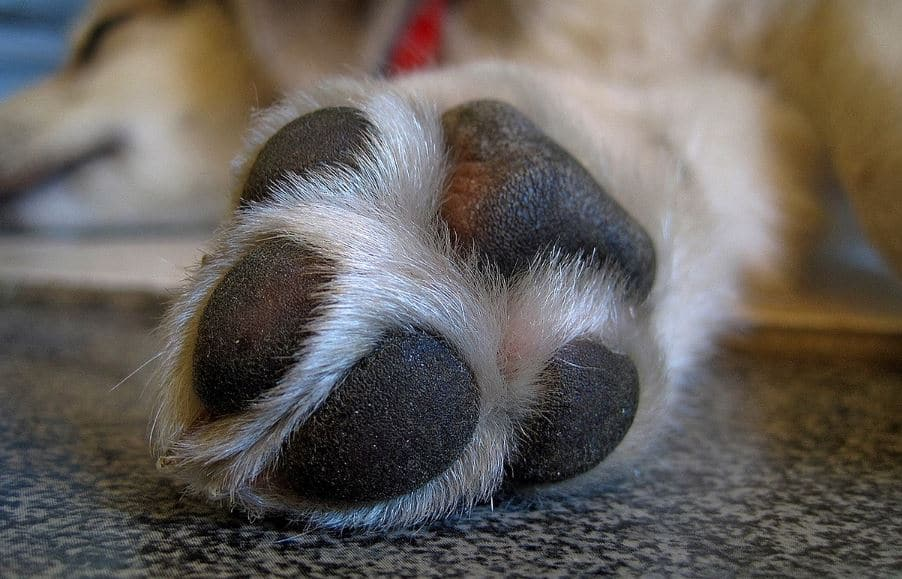 Why Is My Dog S Paw Bleeding Causes Amp How To Stop